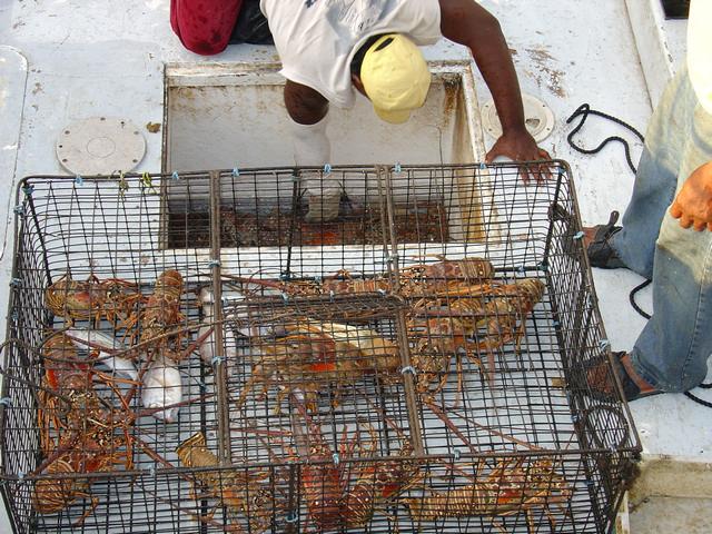 Vangst van langoesten door lokale vissers