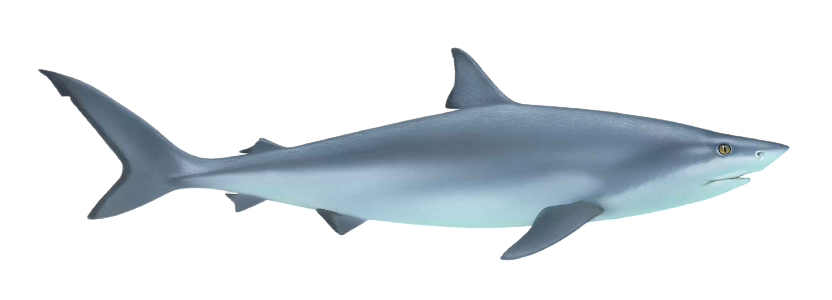 Shark Fish Chondrichthyes Removebg Preview