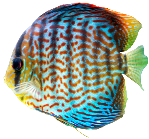 Discus Tropical Decorative Fish P6j2wua 1 1 Removebg Preview